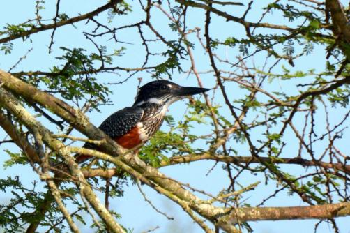 Giant Kingfisher - female (Dave Rimmer)