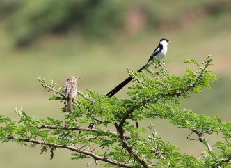 Rattling Cisticola and Pin-tailed Whydah (Photo credit - Steve Davis)