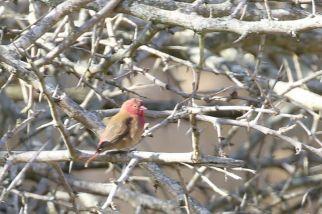 Red-billed Firefinch - Paul Bartho