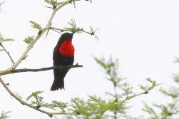 Scarlet-chested Sunbird - Paul Bartho