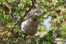 Which Sunbird Nest - Paul Bartho
