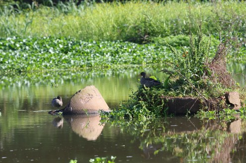 Yellow-billed Ducks (Photo credit - Steve Davis)