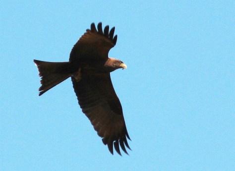 Yellow-billed Kite (Photo credit - David Swanepoel)