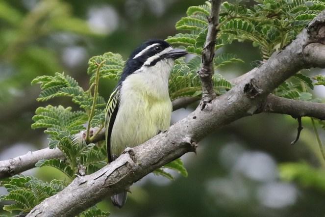 Yellow-rumped Tinkerbird - Paul Bartho