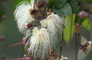 Barringtonia Racemosa - John Bremner