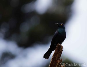 Black-bellied Starling - Adam Cruickshank