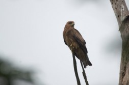 Yellow-billed Kite - John Bremner