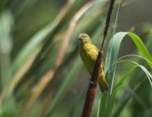 Yellow Weaver - John Bremner