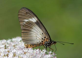 Acrea butterfly - David Swanepoe