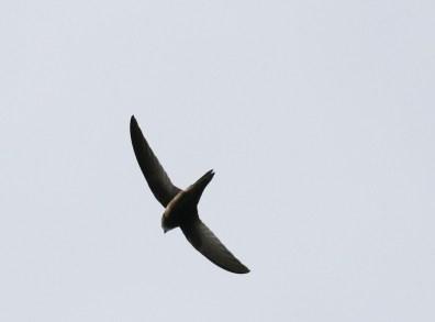 African Black Swift - Paul Bartho