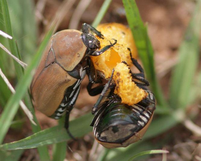 Beetles eating fungus - David Swanepoel