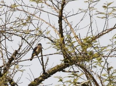 Brown-hooded Kingfisher - Paul Bartho