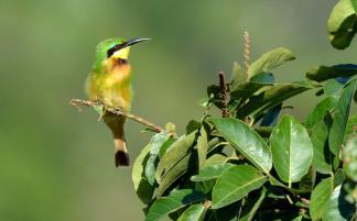 Little Bee-eater - Jenny Stead