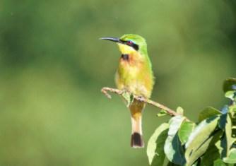 Little Bee-eater -John Bremner