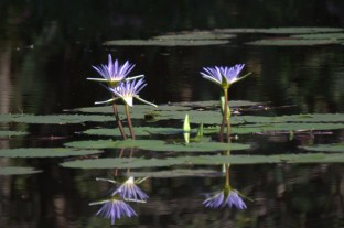 Lilies - John Bremner