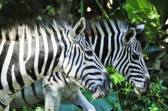 Zebras - John Bremner