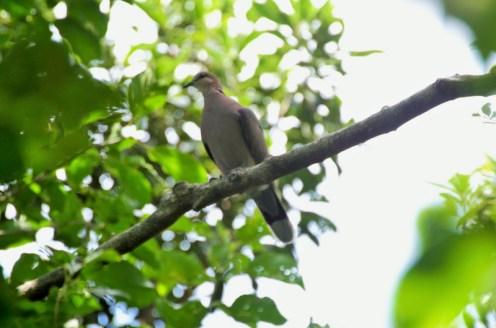 Red-eyed Dove - John Bremner