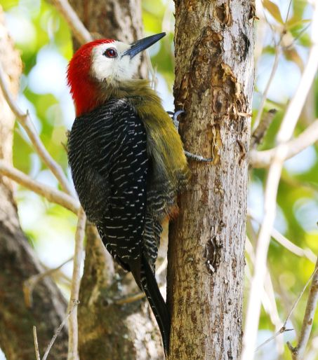 Jamaican Woodpecker from our balcony