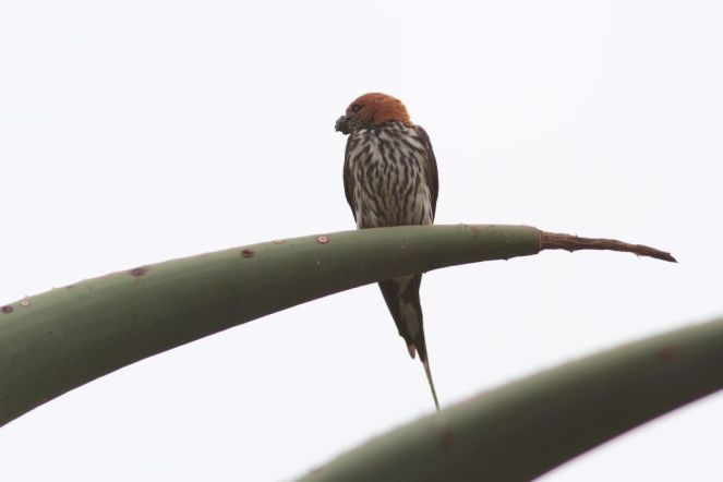 Lesser Striped Swallow (David Swanepoel)