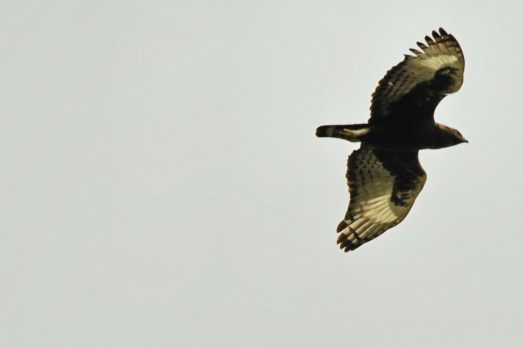 Long-crested Eagle (EJ Bartlett)