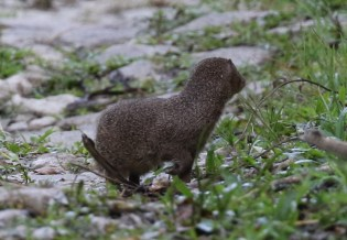 Mongoose - one of many seen on the property