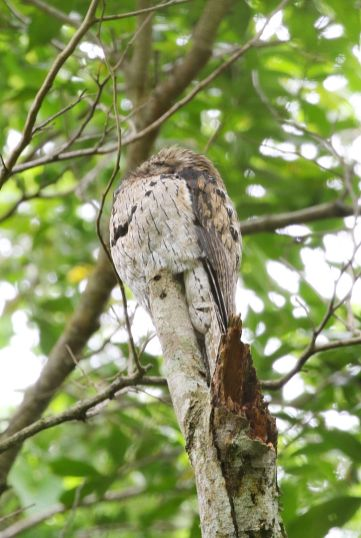 Northern Potoo by day