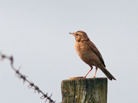 Plain-backed Pipit (David Swanepoel)