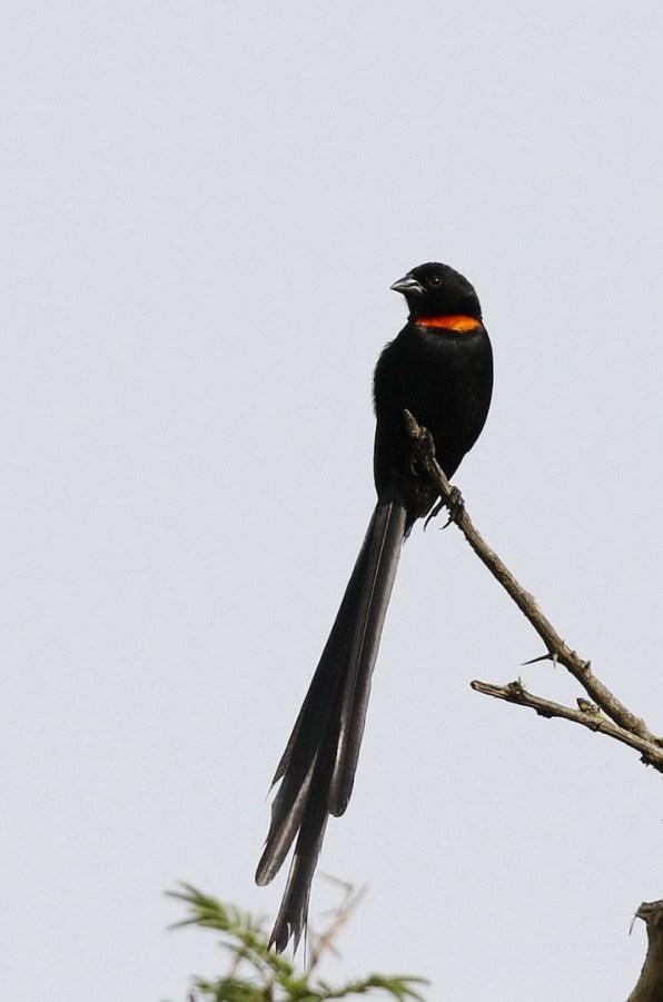 Red-collared Widowbird - Paul Bartho