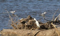Royal Terns and Snowy Egret