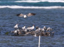 Royal Terns Laughing Gulls and Sandwich Tern