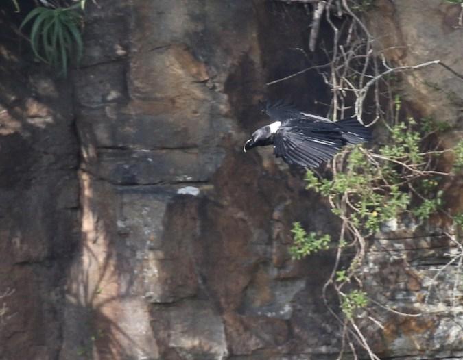 White-necked Raven - Paul Bartho