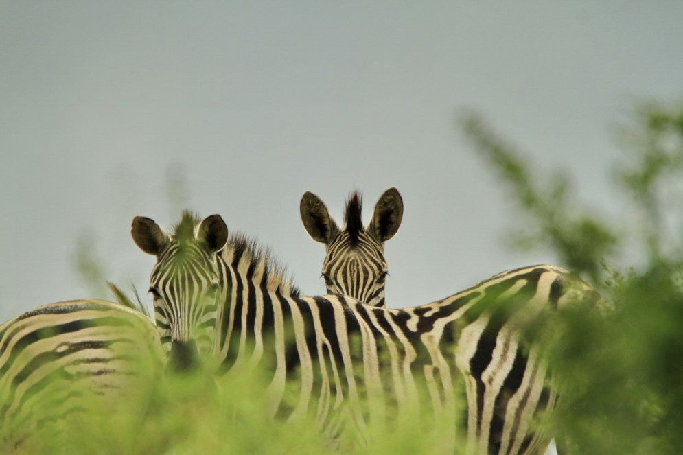 Zebras (EJ Bartlett)