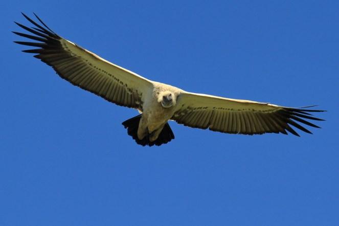 Cape Vulture - Elton Bartlett