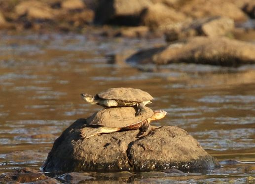 A sandwich of Terrapins