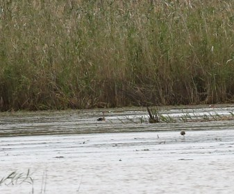 African Pygmy-Geese and White-backed Ducks