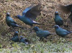 Cape Glossy Starlings - bath time
