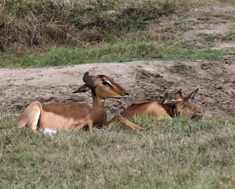 Red-billed Oxpecker crowning an Impala