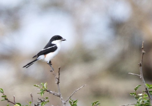 Southern Fiscal - female