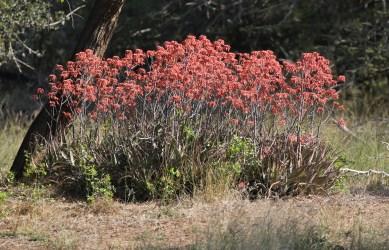 Spicata Aloes
