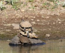 Terrapins - triple decker