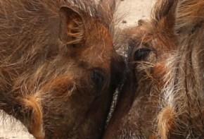 Warthogs eye to eye
