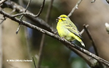 Yellow-fronted Canary -Mick Jackson