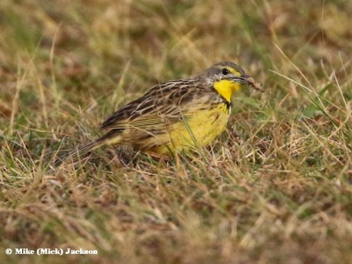 Yellow-throated Longclaw - Mick Jackson