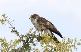 African Harrier-Hawk - juvenile