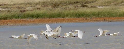African Spoonbills in flight