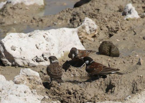 Chestnut-backed Sparrow-Larks