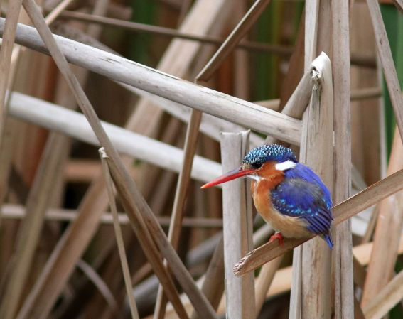 Malachite Kingfisher -David Swanepoel