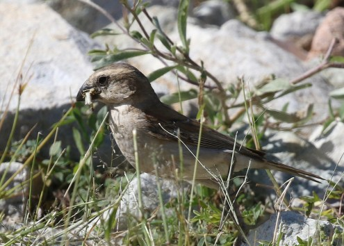 Great Sparrow - female