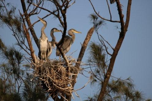 Grey Herons nesting - John Bremner