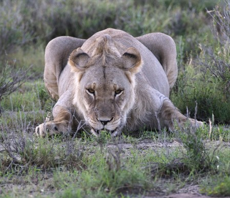 Lioness ready for us next
